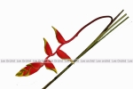 Red Hanging Heliconia