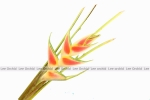 Yellow-Red Heliconia